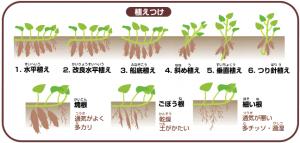 サツマイモの植え方
