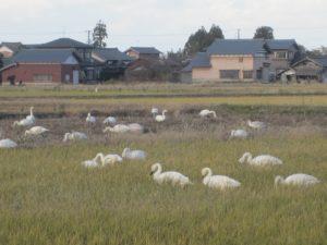 田んぼの白鳥 (5)