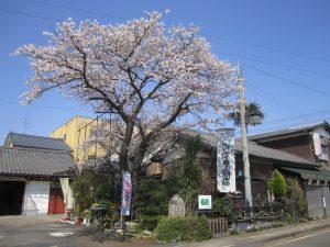 百津屋の桜01