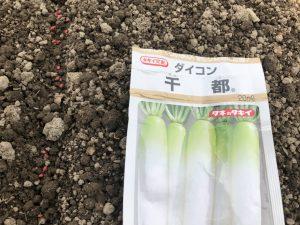 ダイコン(千都)(種まき) [2020-05-03] (1)