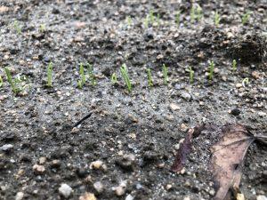 タマネギ(発芽)[2020-09-20]