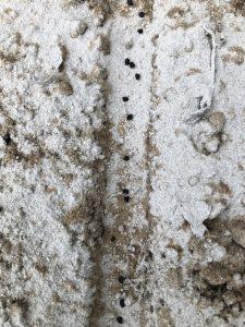 タマネギ [2020-09-13] (6)